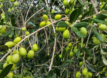Naš način izrade maslinovog ulja