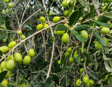 Family farm Rakovac's olives