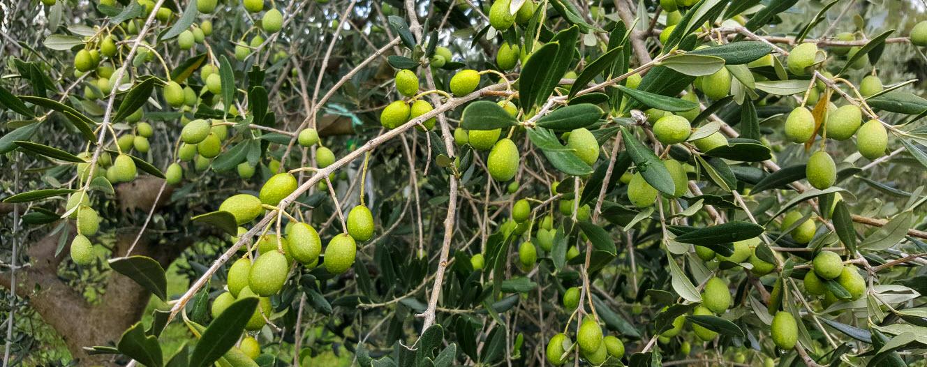 Istrische oliven