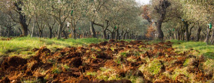 Oljčni nasad Proganj