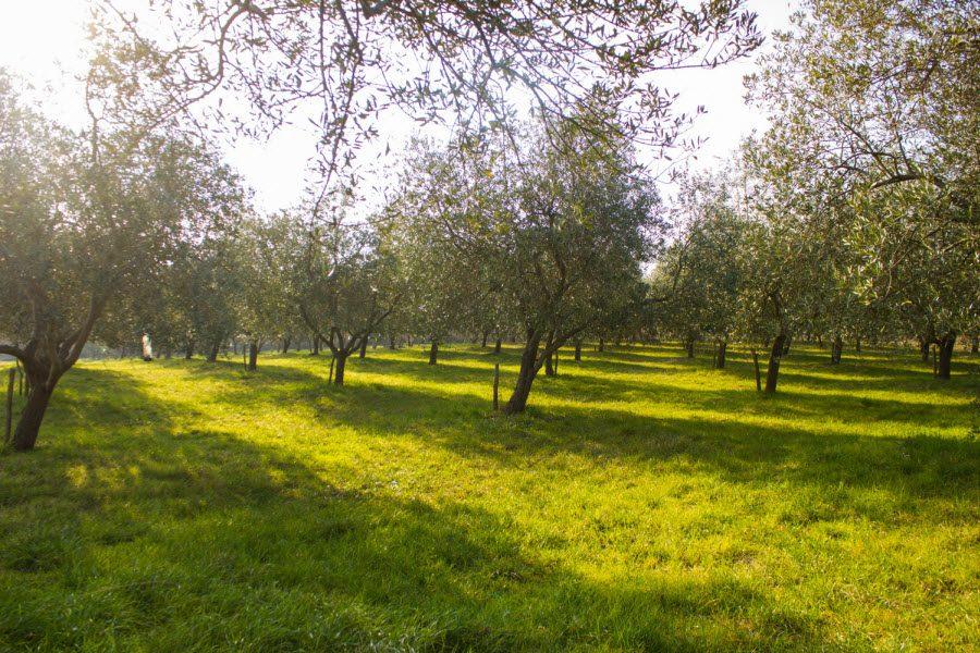 Oljčni nasad Zacrikva