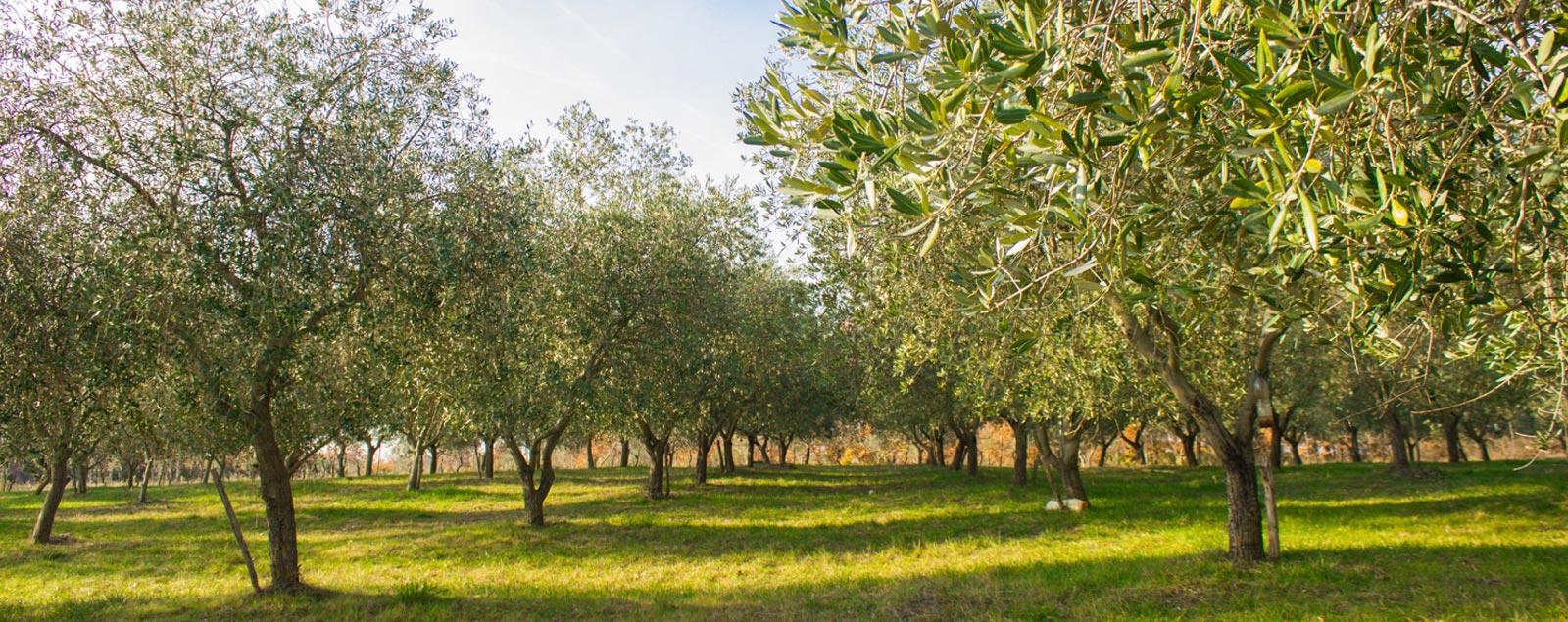 olive grove istria