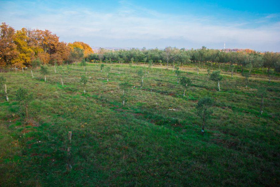 Oljčna nasada Pricrikva i Zatrsina