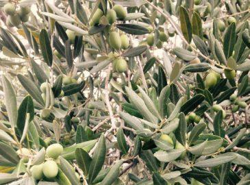 plodovi masline