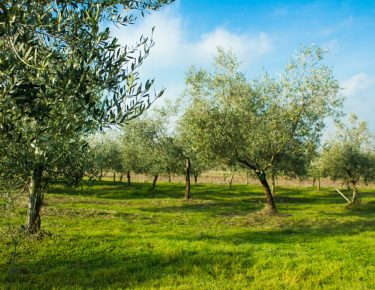 Oljčni nasad Kamenjak