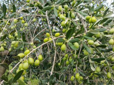 Masline olives bjelica