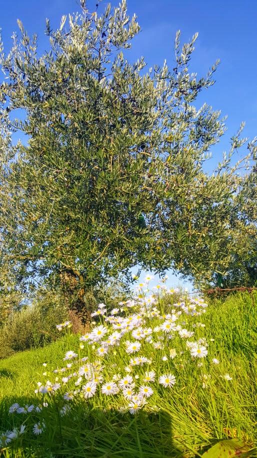 cvijeće ispod masline