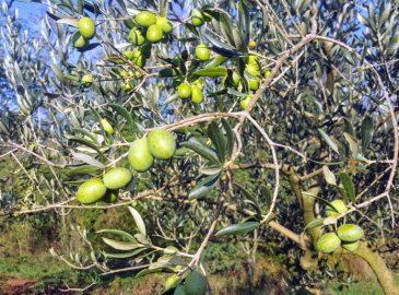 istarsko maslinovo ulje