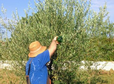 punjenje lovke za maslinovu muhu