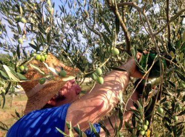 punjenje lovki za maslinovu muhu
