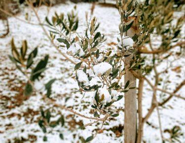 Olivenbaum unter Schnee