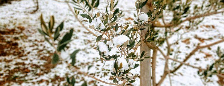 maslina pod snijegom