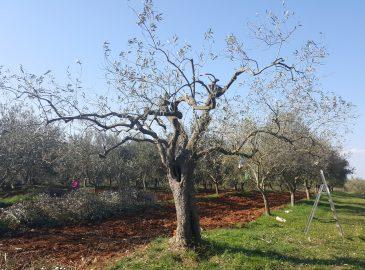 stablo buže nakon rezidbe