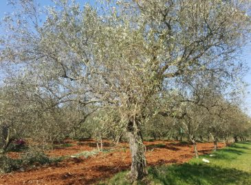 stablo buže prije rezidbe