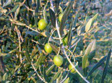 unsere Olivenfrüchte