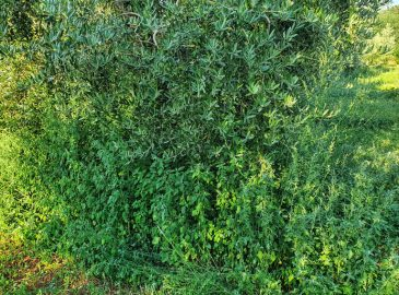 trava u masliniku