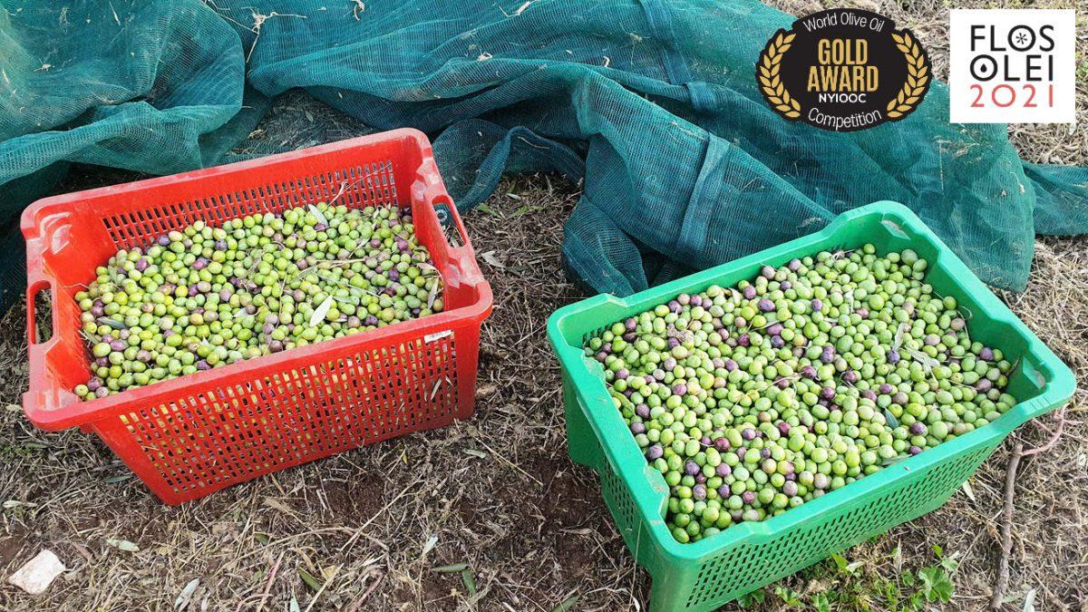 Frisch gepresstes Olivenöl Bilini
