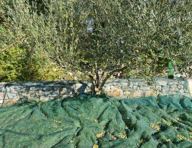 stablo i plod masline