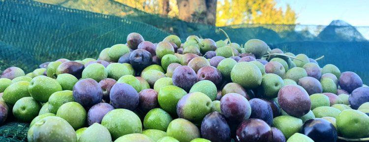 Olivenernte 2020